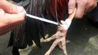 Vong linh gà báo ứng nhờ tụng kinh mà khỏi bệnh